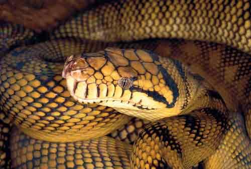 Amethystine-Python