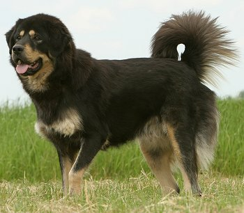 Himalayan-Sheepdog