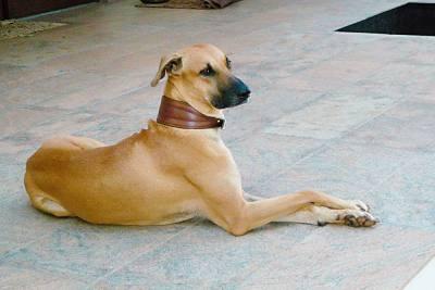 Kombai-dog