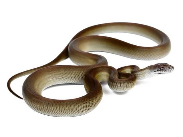 Papuan-Python