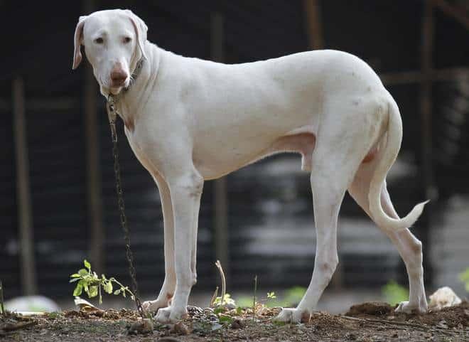 Rajapalayam-dog