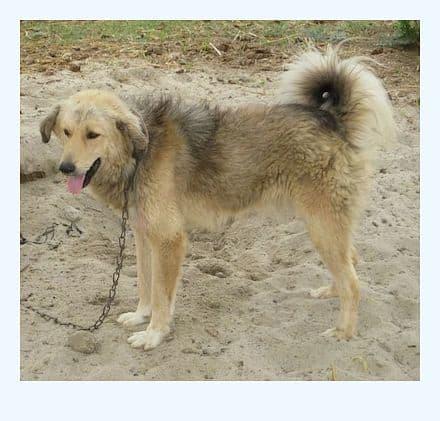 bakharwal-dog