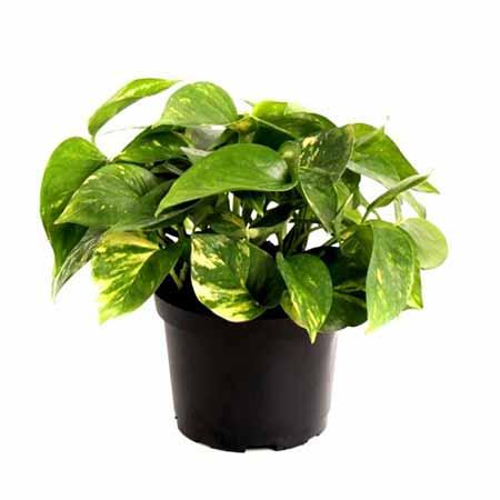 pothos-house-plant